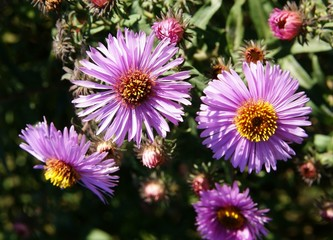 pink asters in a garden close up