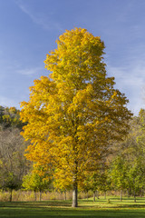 Yellow Autumn Maple Tree