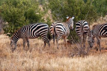Zebras in Tsavo East National Park, Kenya Wall mural
