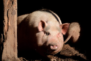 Portrait of pig in pen, front view