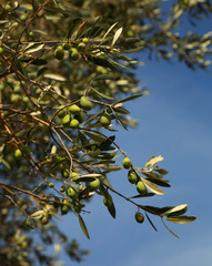 Fresh olive in a tree