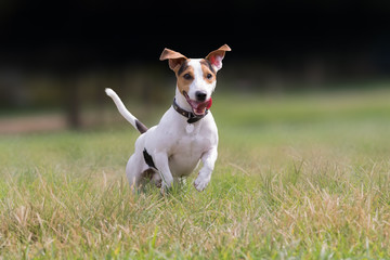 Cute dog jack russell at a park.