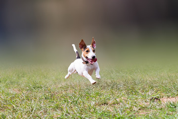jack russell jumping at a park.