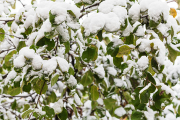 first snow on green leaves of apple tree in autumn