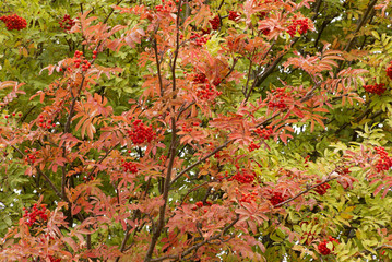 Eberesche,Sorbus aucuparia, im Herbst