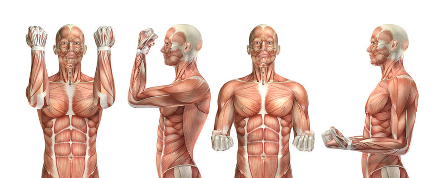 3D medical figure showing elbow flexion and extension