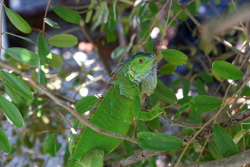 An iguana in Key West, Florida