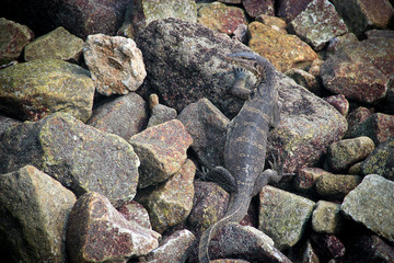 Giant monitor lizard hiding among the rocks