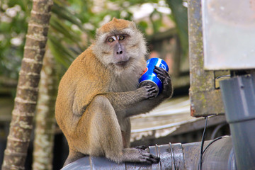 Monkey drinking Pepsi Cola drink