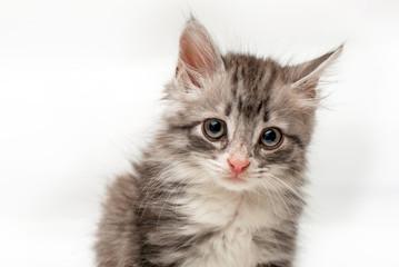 Серый пушистый котенок