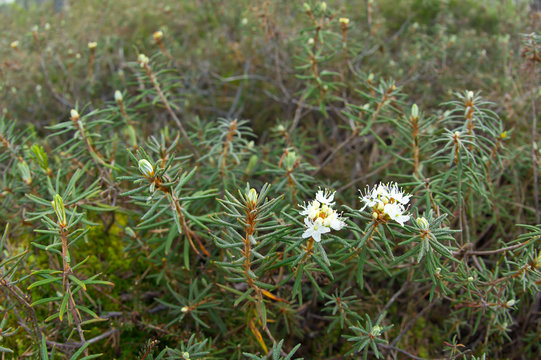 Rhododendron tomentosum - commonly known as Marsh Labrador tea, northern Labrador tea or wild rosemary