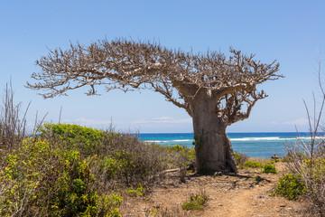 Big baobab tree surrounded by African Savannah