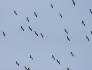 Migrating White Storks