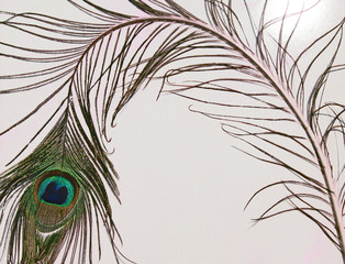 Artistic Peacock feather