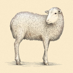 engrave isolated sheep illustration