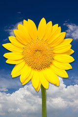 Sunflower in front of blue sky.