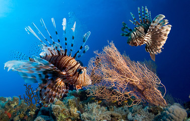 Couple of  lionfish, Red sea