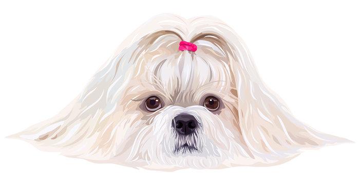 Shih tzu dog portrait in bright white colors