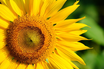 向日葵の花アップ