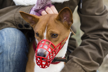 Basenji dog in a muzzle for coursing Wall mural