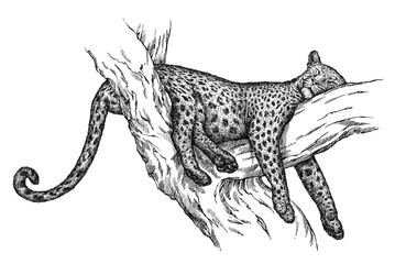 engrave leopard illustration