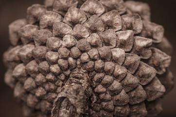 Closeup Pine Cone