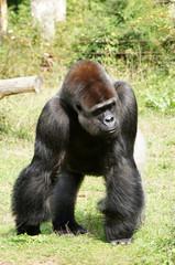 Gorille mâle dominant à dos argenté chargant