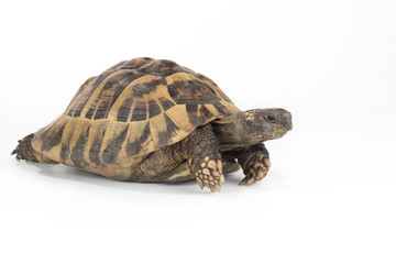 greek land tortoise, Testudo Hermanni