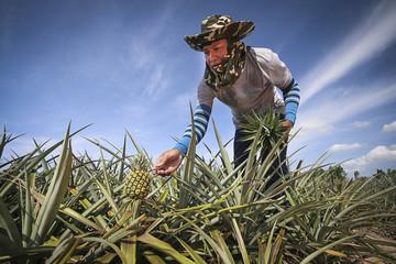 Farmer in pineapple farm