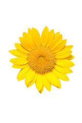 Beautiful yellow Sunflower Isolated On White Backround.