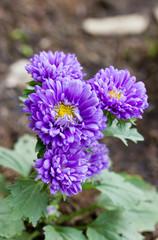 Purple Chrysanthemum.