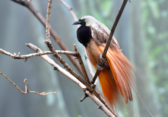 Greater bird-of-paradise male displaying beautiful plumage