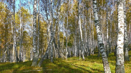 Wall Mural - autumn birch forest