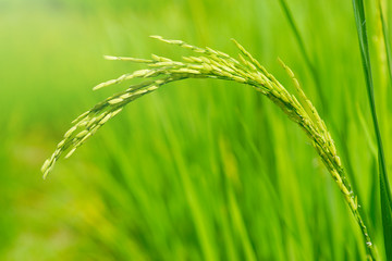 Growth of Rice spike in the field.