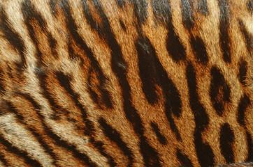 pelle di tigre siberiana