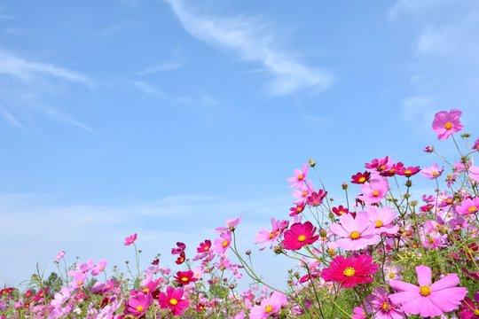 コスモスの花と青空
