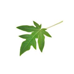 Papaya leaves isolate on white background