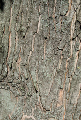 Wood Tree for Texture or Background