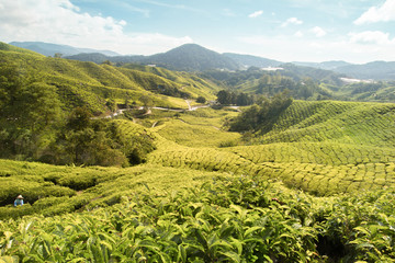 Wall Mural - tea plantation