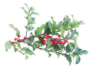 Holly branches with leaves and berries