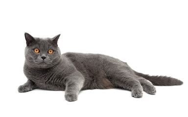 cat breeds Scottish Straight lies on a white background close-up