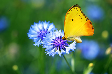 Beautiful butterfly on wildflower, on nature background
