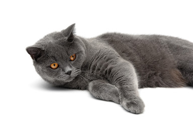 gray cat lying on a white background close-up
