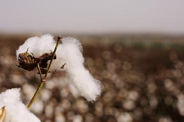 Cotton fields white with ripe cotton