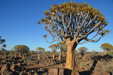 Desert landscape with a quiver tree (Aloe dichotoma) and granite rocks, Namibia