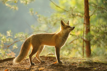 Red fox from side view in beauty backlight in autumn forest