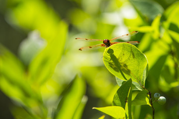 Calico Pennant Dragonfly with Shadow on Leaf