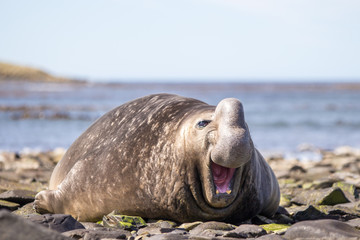 Laughing Smiling Southern Elephant Seal