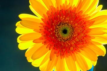 Beautiful orange gerbera in sunlight closeup
