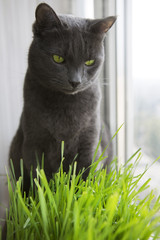 Cute Cat with Wheat Green Sprouts, Grass Growing.